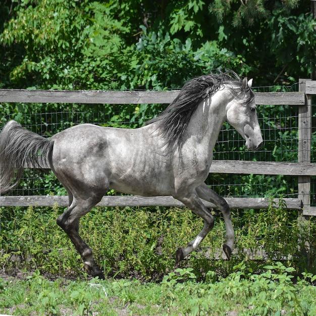 Arabisches graues pferd geht frei Premium Fotos