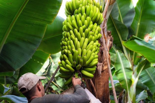 Arbeitskräfte, die ein bündel bananen in einer plantage in teneriffa, kanarische inseln, spanien schneiden. Premium Fotos
