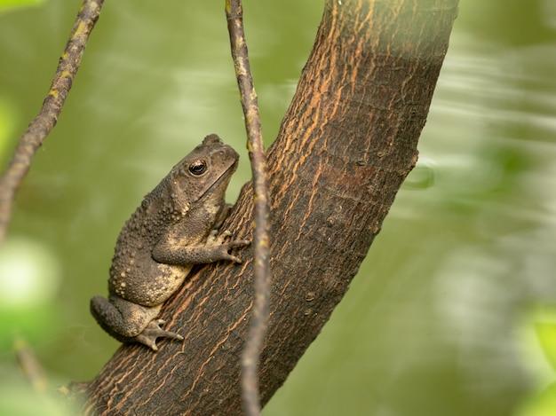 Asiatische kröte, schwarzstachelkröte, duttaphrynus melanostictus, der auf baum sitzt Premium Fotos