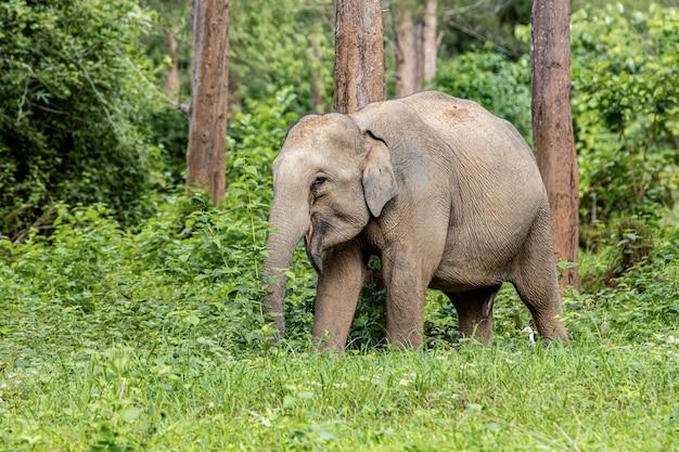 Asiatische wilde elefanten sehen in der regenzeit sehr glücklich mit dem futter aus Premium Fotos