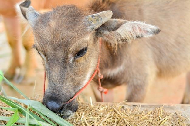 Asiatischer büffel in thailand. Premium Fotos