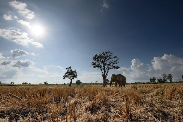 Asiatischer elefant und geerntetes reisfeld in thailand Premium Fotos