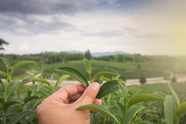 Asiatischer mann erntet frische teeblätter auf der farm und schüttelt einem mann auf einer teeplantage in thailand die hand. Premium Fotos