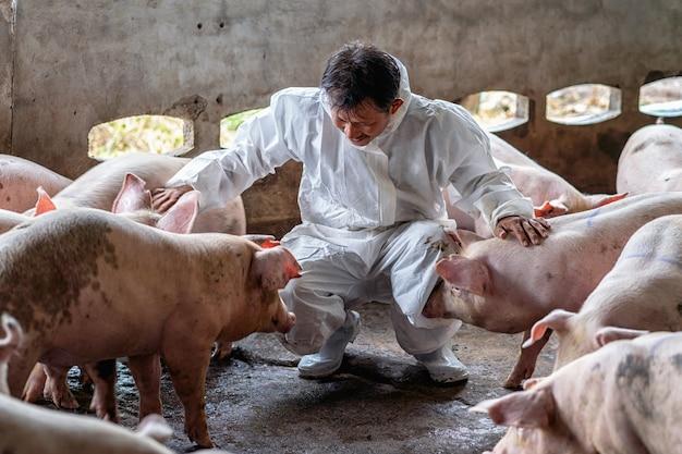 Asiatischer tierarzt, der das schwein in der schweinefarm-, tier- und schweinefarmindustrie bearbeitet und überprüft Premium Fotos