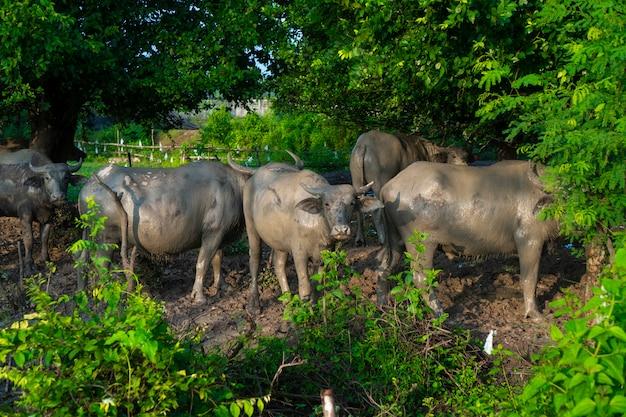 Asiatischer wasserbüffel auf dem bauernhofgebiet, thailand Premium Fotos