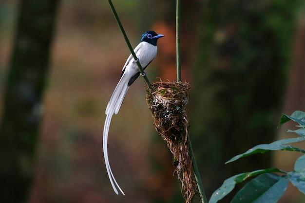 Asiatisches paradies flycatcher terpsiphone paradisi weißes morph der schönen männlichen vögel von thailand hockend auf dem nest Premium Fotos