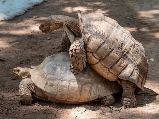 Asien-schildkrötenzucht am tag Premium Fotos