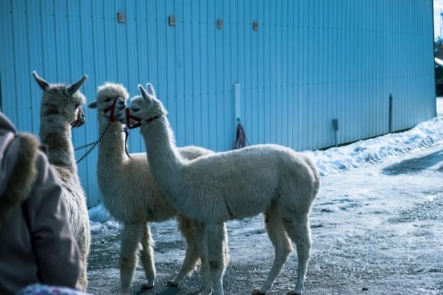 Atemberaubende aufnahme von weißen alpakas, die im winter kopfbänder tragen Kostenlose Fotos