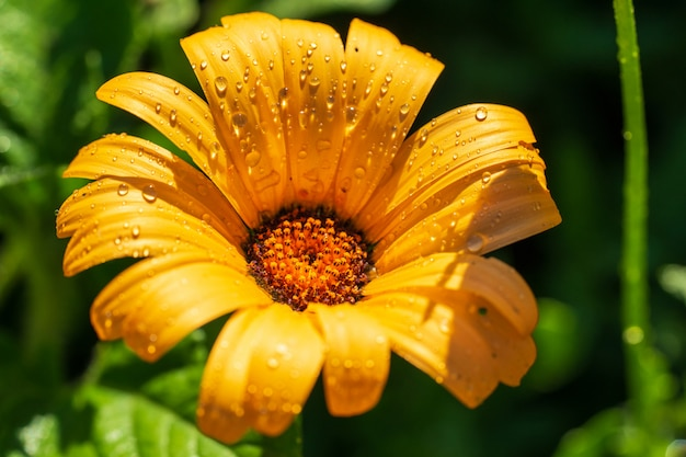 Auf einem grünen hintergrund ist sonniges gelbes blume doronikum mit wassertropfen. Premium Fotos
