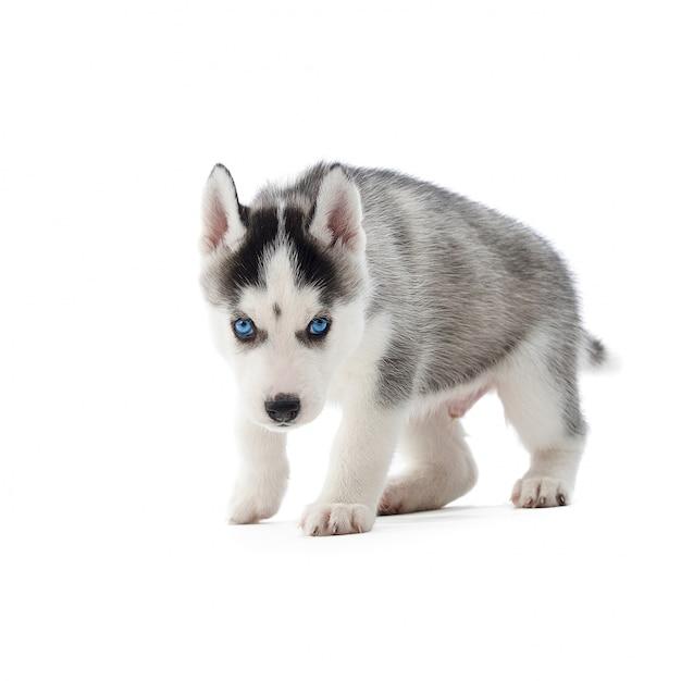 Aufnahme eines entzückenden husky-welpen mit blauen augen, die auf weißem copyspace isoliert gehen. Kostenlose Fotos