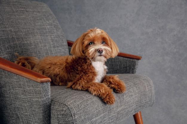 Aufrichtiger freund. maltipu kleiner hund posiert. Kostenlose Fotos
