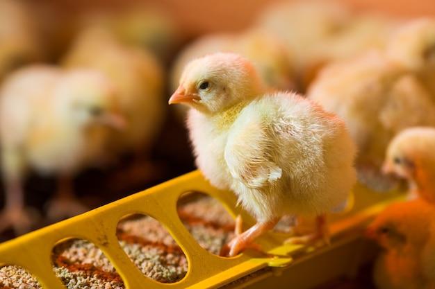 Aufzucht von hühnern auf einer geflügelfarm Premium Fotos