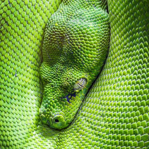 Auge der grünen baumpython Premium Fotos