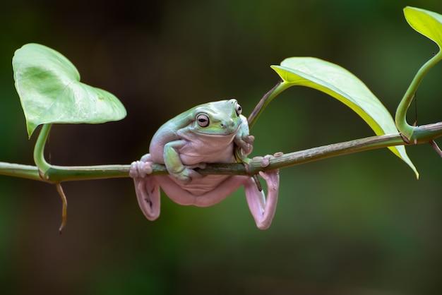 Australischer weißer laubfrosch, der an der pflanze hängt Premium Fotos