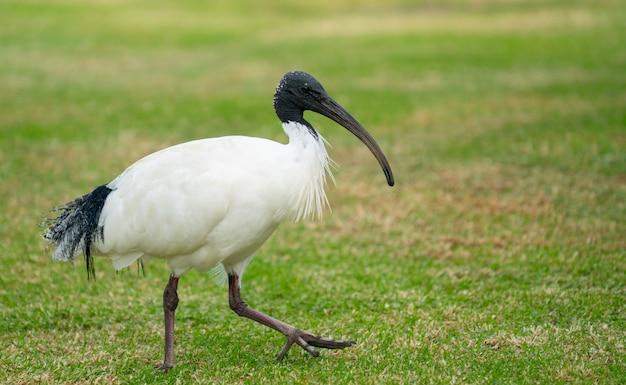 Australisches weißes ibis Premium Fotos