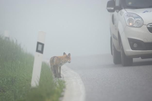 Auto vorbei an einem fuchs, der am straßenrand steht. Premium Fotos