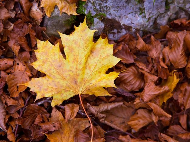 Autum alamo gelbes blatt in einem buchenwald pyrenäen ordesa Premium Fotos