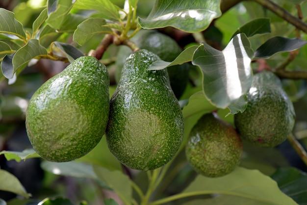 Avocado auf dem baum mit grünen blättern Premium Fotos