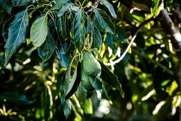 Avocadobaum mit vielen früchten, die von seinen niederlassungen in der sonne hängen. Premium Fotos