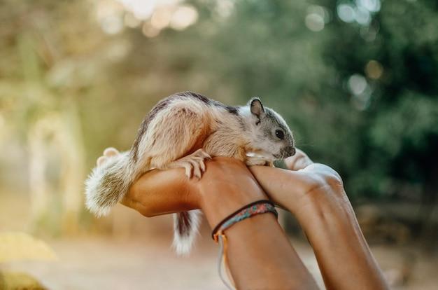 Baby eichhörnchen in händen Premium Fotos