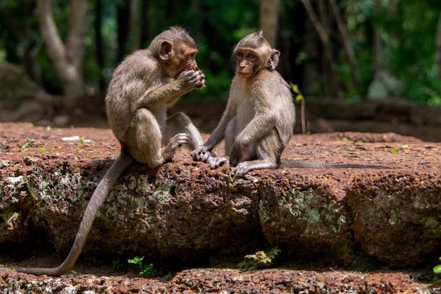 Baby-makaken-affen, die nahrung in kambodscha teilen Kostenlose Fotos