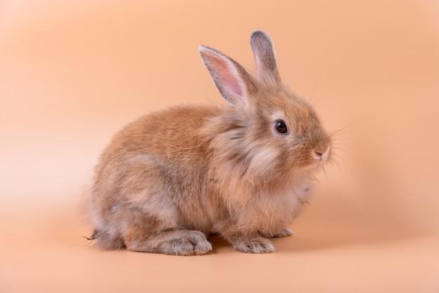 Baby süße kaninchen hat spitze ohren, braunes fell und funkelnde augen. Premium Fotos