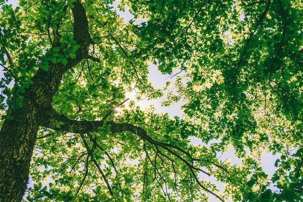 Bäume in einem eichenwald an einem sonnigen tag des frühlinges oder des sommers, ansicht von unten Premium Fotos