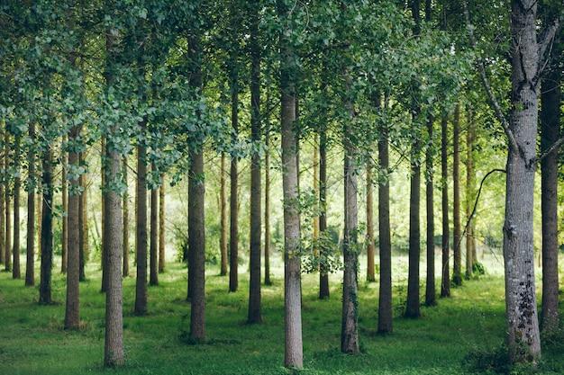 Bäume in einer reihe im wald gepflanzt Premium Fotos