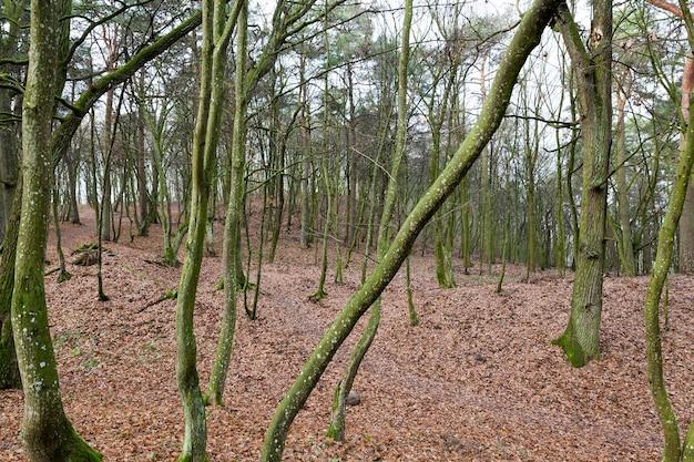 Bäume mit blättern im herbstwald. auf dem boden liegt trockenes laub. fotografierte nahaufnahme. Premium Fotos