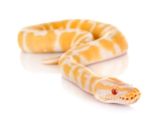 Ball python Premium Fotos