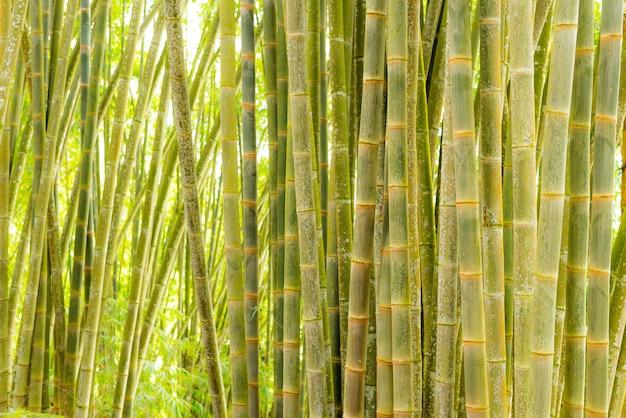 Bambuswald, grüne bambushain im morgensonnenlicht, sulawesi, indonesien Premium Fotos