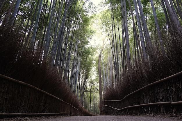 Bambuswald in japan Premium Fotos
