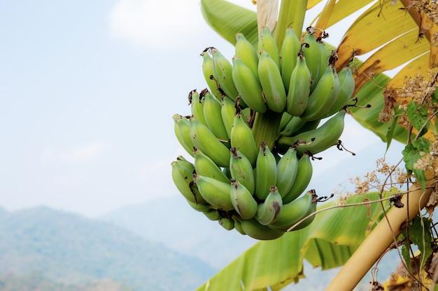 Banane auf baum am himmel. Premium Fotos