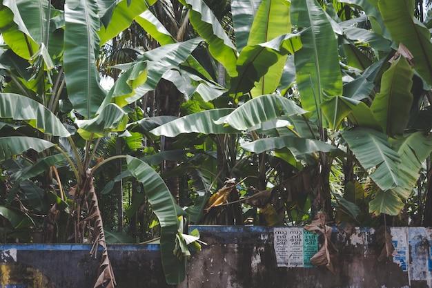 Bananenbäume wachsen hinter einer steinmauer Kostenlose Fotos
