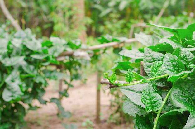 Basella alba, thailändisches gemüse hat medizinische eigenschaften. alternate blatt Premium Fotos