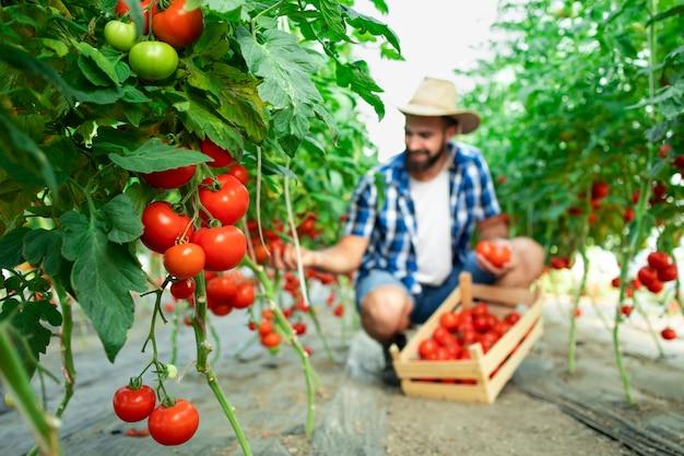 Bauer pflückt frisches reifes tomatengemüse und legt es in eine holzkiste Kostenlose Fotos