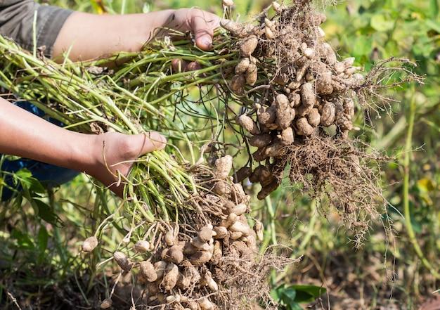 Bauern ernten erdnuss Premium Fotos