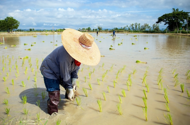 Bauernarbeit. reissämlinge sind bereit zum pflanzen mit weichzeichner und über licht im hintergrund Premium Fotos