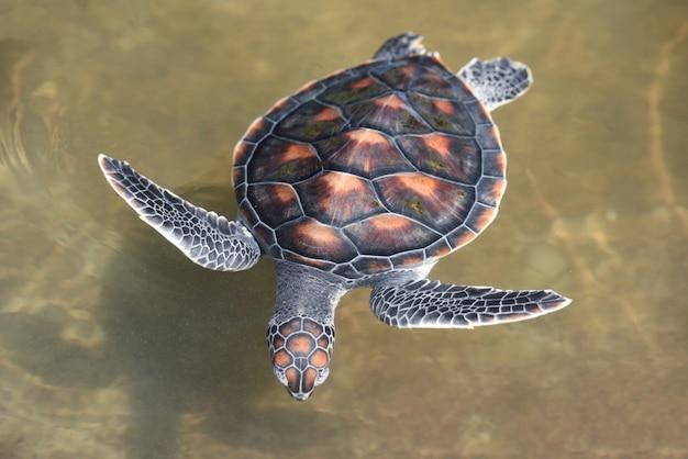 Bauernhof der grünen schildkröte und schwimmen auf wasserteich Premium Fotos