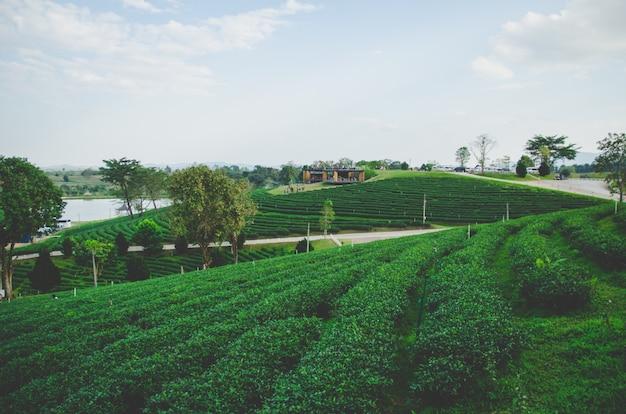Bauernhof des grünen tees mit straße und cloundy himmel Premium Fotos