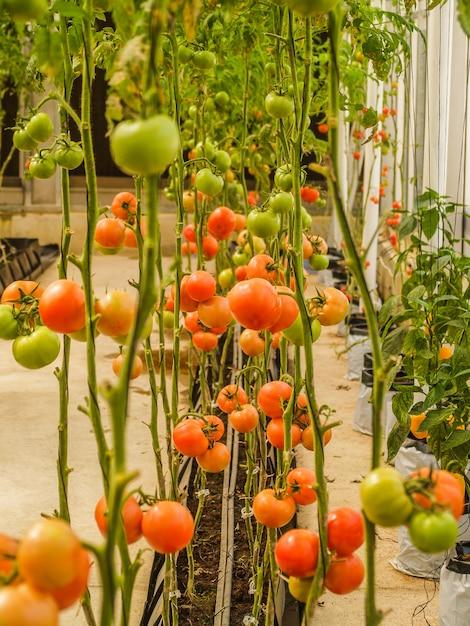 Bauernhoftomaten im gewächshaus Premium Fotos