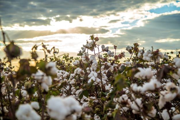 Baumwollfeldplantagen-beschaffenheitshintergrund Premium Fotos