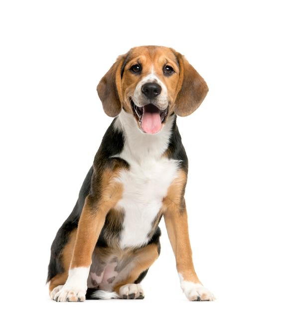 Beagles sitzen und keuchen Premium Fotos