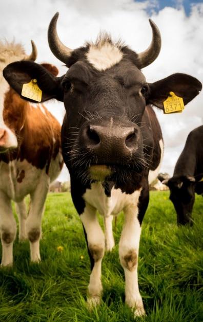 Begegnung mit einer kuh Kostenlose Fotos