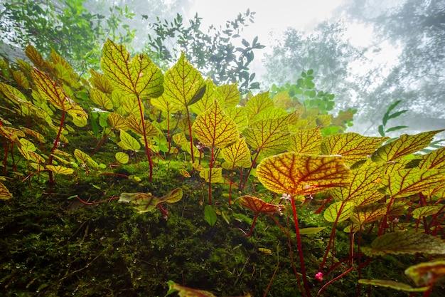 Begonie treibt auf dem felsen in der flachen tiefe des regenwaldes blätter Premium Fotos