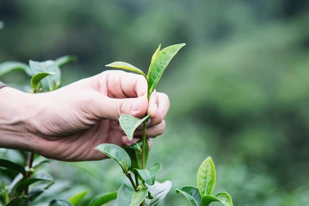 Bemannen sie ernte / frische frische teeblätter am hohen landteefeld in chiang mai thailand Kostenlose Fotos