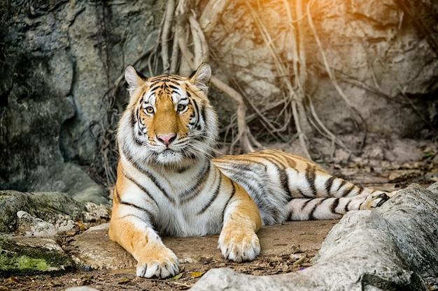 Bengal-tiger, der im wald stillsteht Premium Fotos