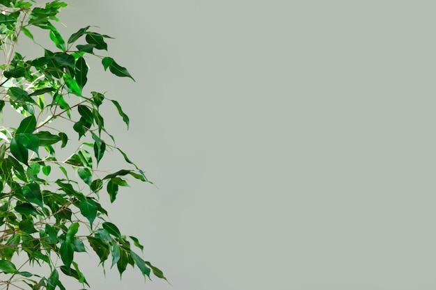 Benjamin-feige gegen einen grünen wandhintergrund Premium Fotos
