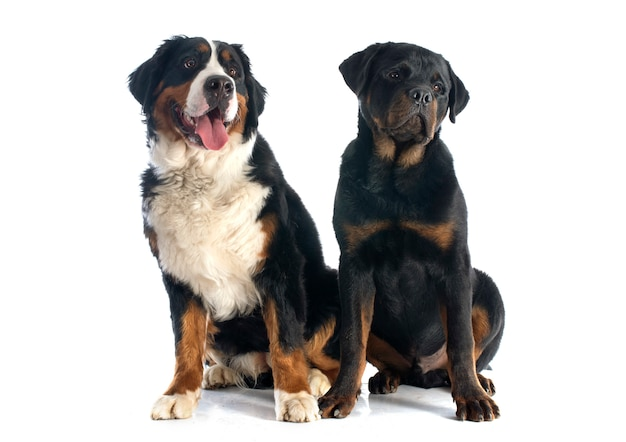 Berner moutain dog und rottweiler Premium Fotos