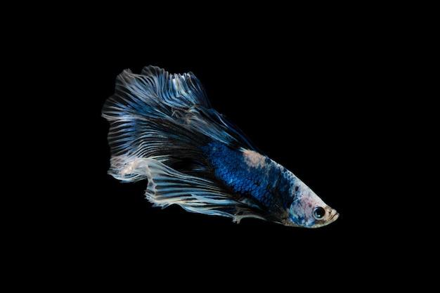 Betta fisch auf schwarz Premium Fotos